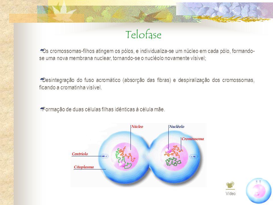 Telofase Os cromossomas-filhos atingem os pólos, e individualiza-se um núcleo em cada pólo, formando- se uma nova membrana nuclear, tornando-se o nucl