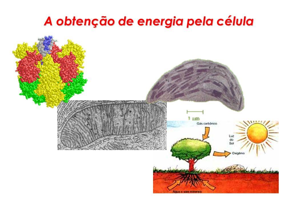 A energia é produzida com a quebra da matéria orgânica dentro de cada célula.