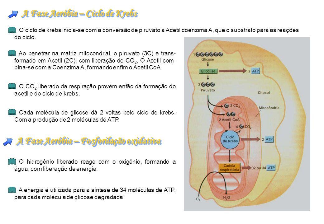 A Fase Aeróbia – Ciclo de Krebs O ciclo de krebs inicia-se com a conversão de piruvato a Acetil coenzima A, que o substrato para as reações do ciclo.