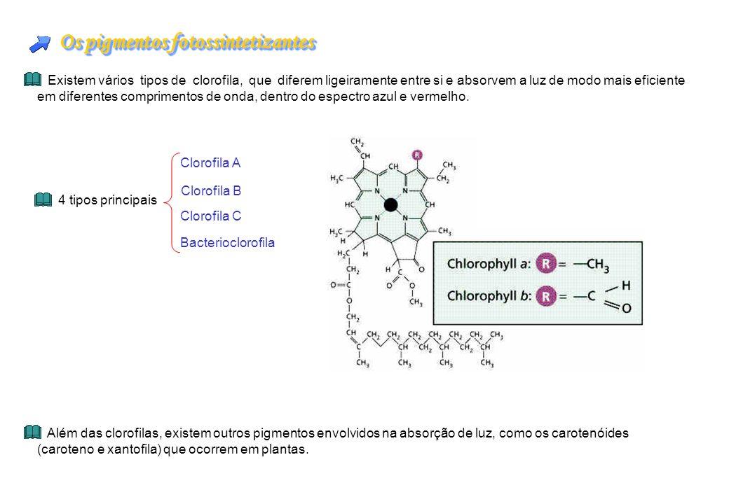 Os pigmentos fotossintetizantes Existem vários tipos de clorofila, que diferem ligeiramente entre si e absorvem a luz de modo mais eficiente em difere