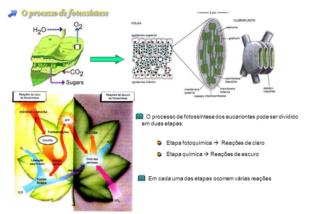 O processo de fotossíntese Etapa fotoquímica Reações de claro Etapa química Reações de escuro Em cada uma das etapas ocorrem várias reações O processo