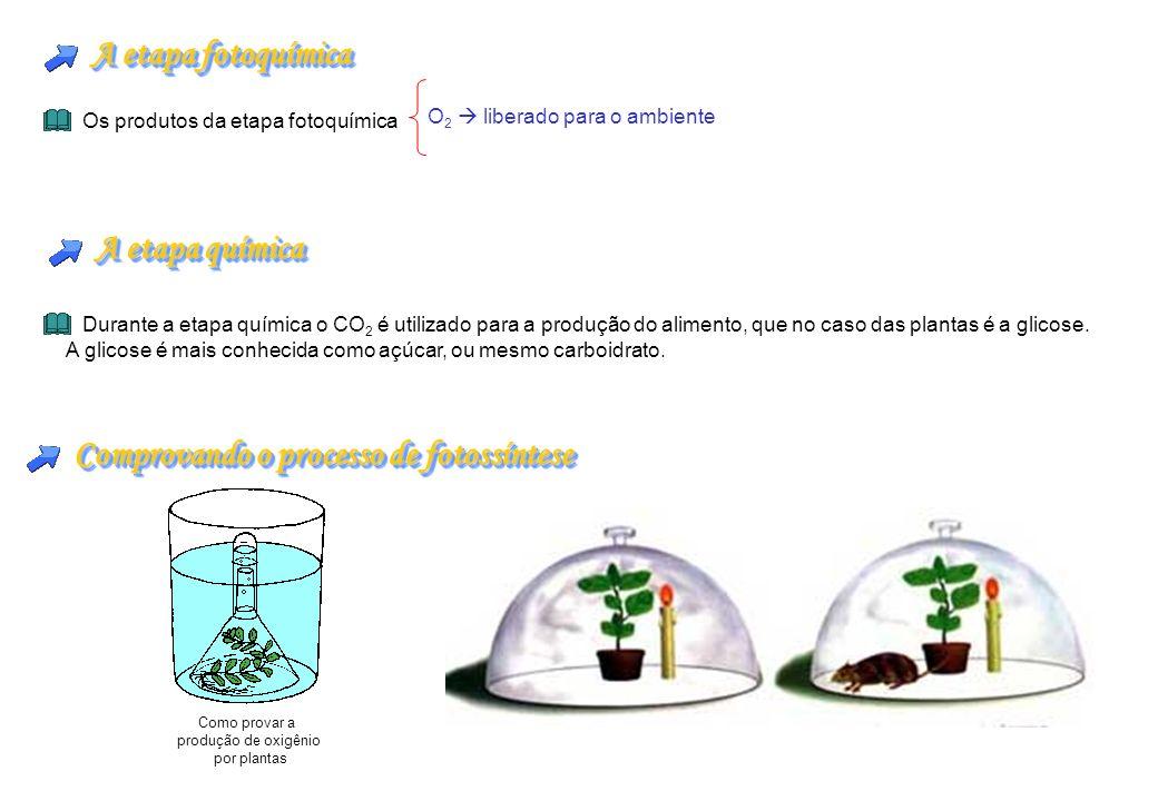 Comprovando o processo de fotossíntese Como provar a produção de oxigênio por plantas A etapa fotoquímica Os produtos da etapa fotoquímica O 2 liberad