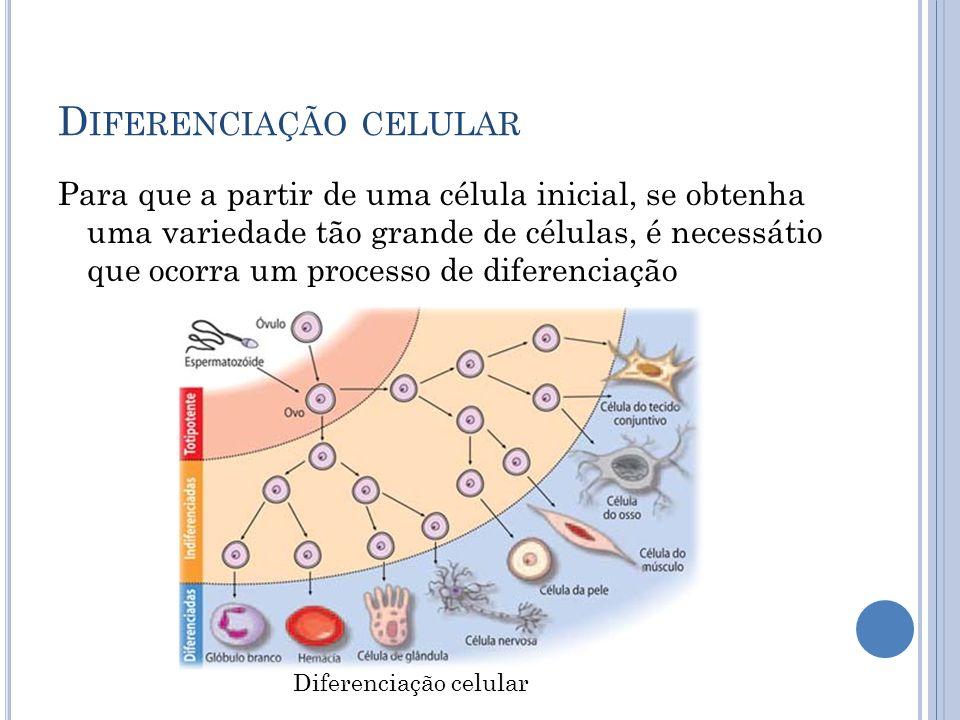 D IFERENCIAÇÃO CELULAR Para que a partir de uma célula inicial, se obtenha uma variedade tão grande de células, é necessátio que ocorra um processo de