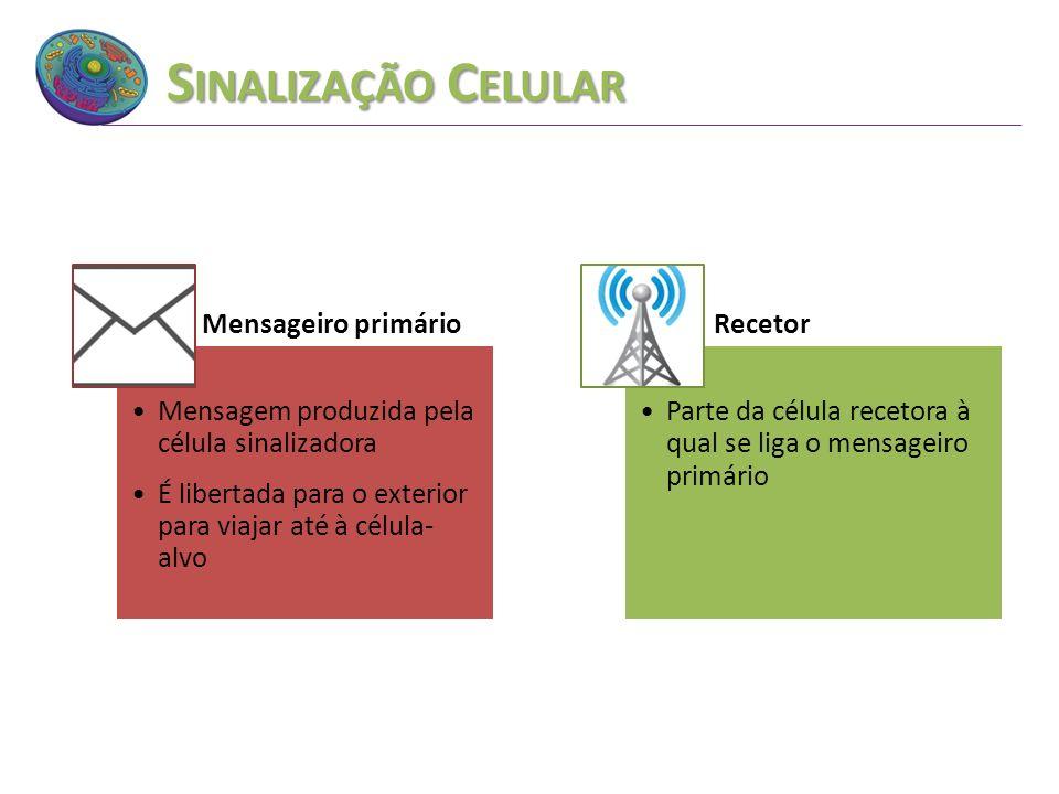 S INALIZAÇÃO C ELULAR Mensageiro primário Mensagem produzida pela célula sinalizadora É libertada para o exterior para viajar até à célula- alvo Recet