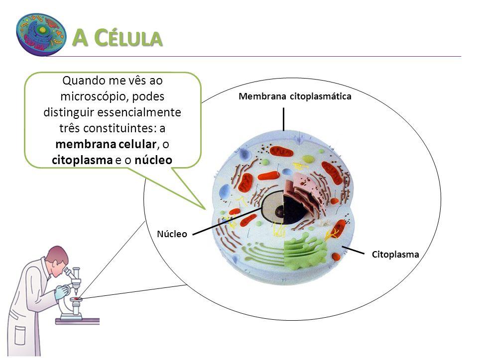 A C ÉLULA Núcleo Citoplasma Membrana citoplasmática Quando me vês ao microscópio, podes distinguir essencialmente três constituintes: a membrana celul