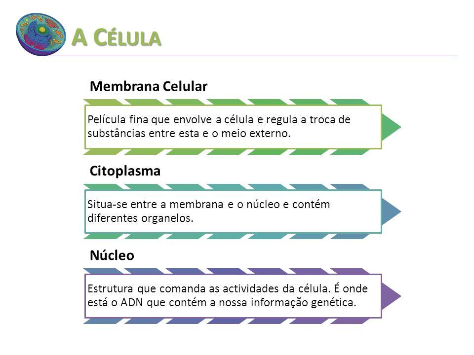 A C ÉLULA Membrana Celular Película fina que envolve a célula e regula a troca de substâncias entre esta e o meio externo. Citoplasma Situa-se entre a