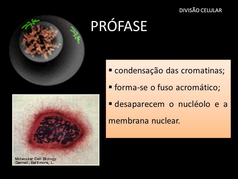 DIVISÃO CELULAR PRÓFASE condensação das cromatinas; forma-se o fuso acromático; desaparecem o nucléolo e a membrana nuclear. condensação das cromatina