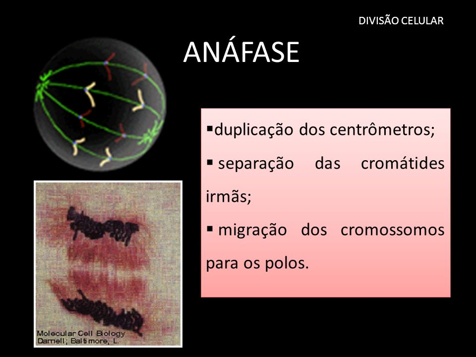 DIVISÃO CELULAR ANÁFASE duplicação dos centrômetros; separação das cromátides irmãs; migração dos cromossomos para os polos. duplicação dos centrômetr