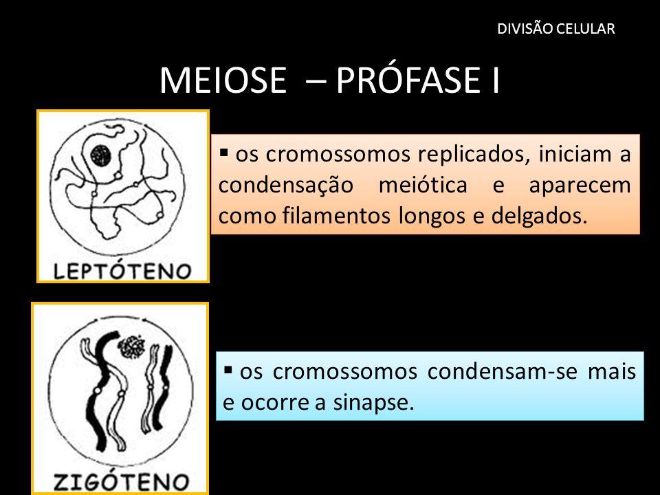 DIVISÃO CELULAR MEIOSE – PRÓFASE I os cromossomos replicados, iniciam a condensação meiótica e aparecem como filamentos longos e delgados. os cromosso
