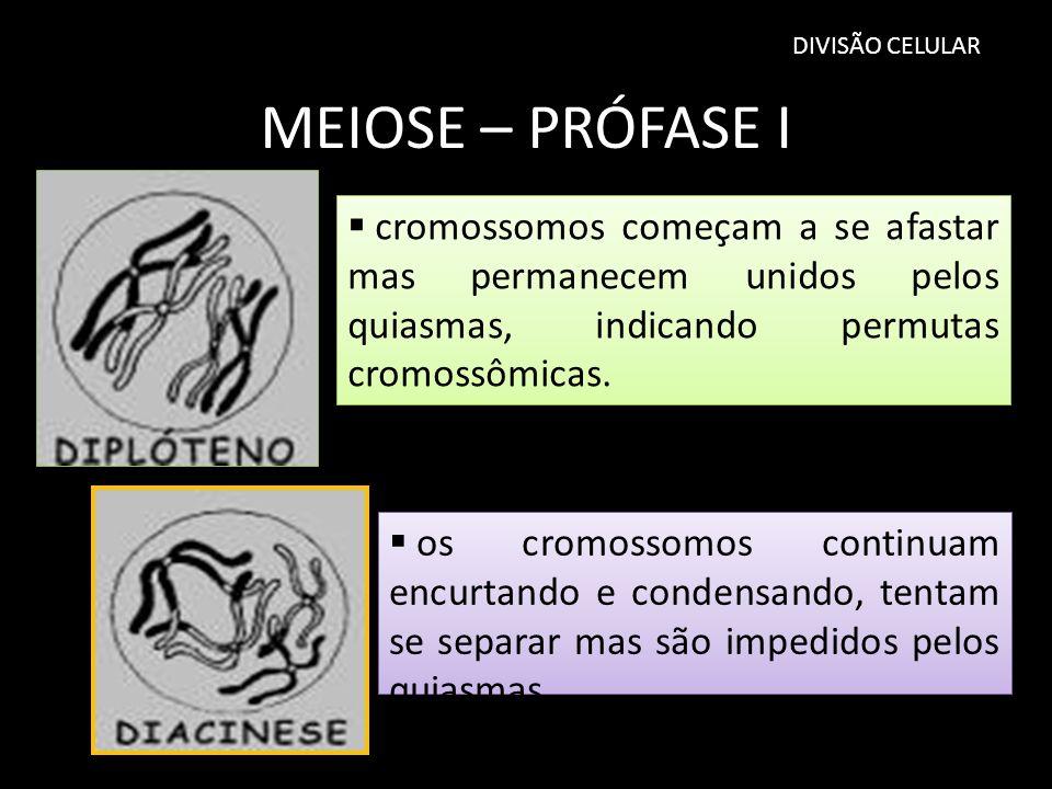 DIVISÃO CELULAR MEIOSE – PRÓFASE I os cromossomos continuam encurtando e condensando, tentam se separar mas são impedidos pelos quiasmas cromossomos c