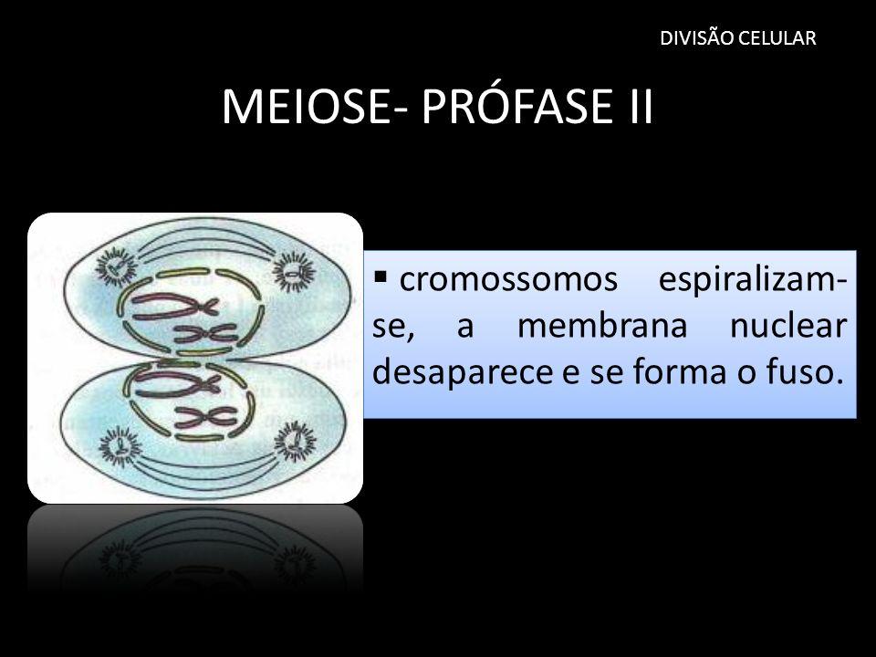 MEIOSE- PRÓFASE II DIVISÃO CELULAR cromossomos espiralizam- se, a membrana nuclear desaparece e se forma o fuso.