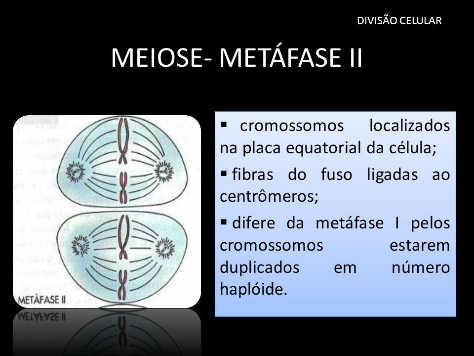DIVISÃO CELULAR MEIOSE- METÁFASE II cromossomos localizados na placa equatorial da célula; fibras do fuso ligadas ao centrômeros; difere da metáfase I