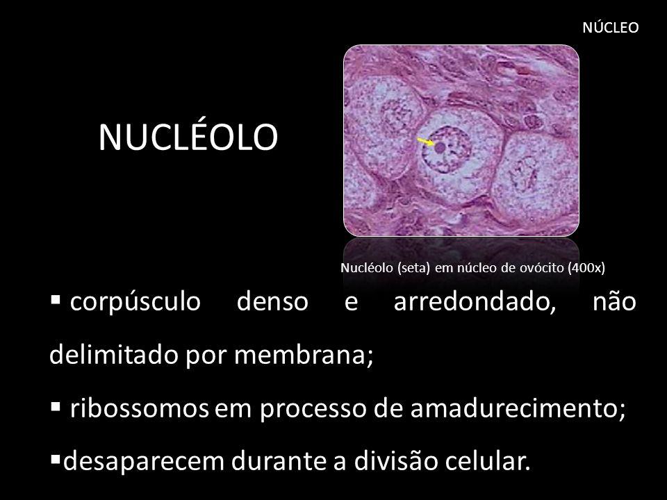 solução aquosa que envolve a cromatina e os nucléolos; presentes diversos tipos de íons, moléculas de ATP, nucleotídeos e enzimas.