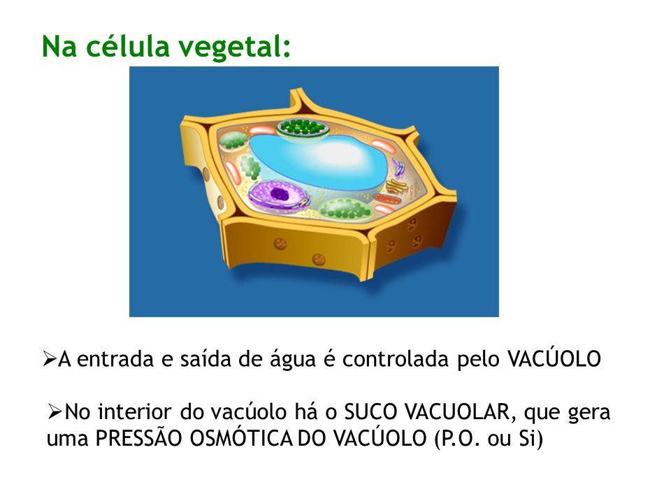 Na célula vegetal: A entrada e saída de água é controlada pelo VACÚOLO No interior do vacúolo há o SUCO VACUOLAR, que gera uma PRESSÃO OSMÓTICA DO VACÚOLO (P.O.