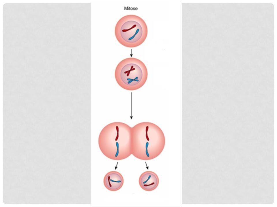 Por meio da mitose, uma célula se divide em duas, geneticamente idênticas à célula inicial.