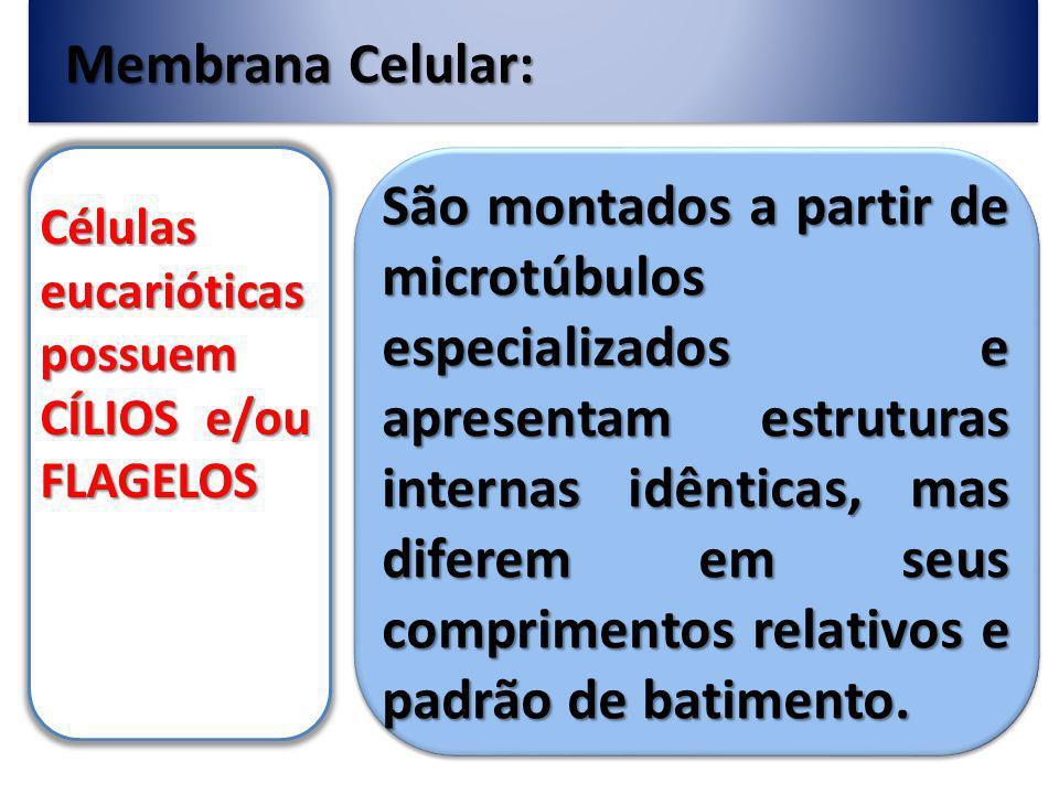 Membrana Celular: Células eucarióticas possuem CÍLIOS e/ou FLAGELOS São montados a partir de microtúbulos especializados e apresentam estruturas internas idênticas, mas diferem em seus comprimentos relativos e padrão de batimento.