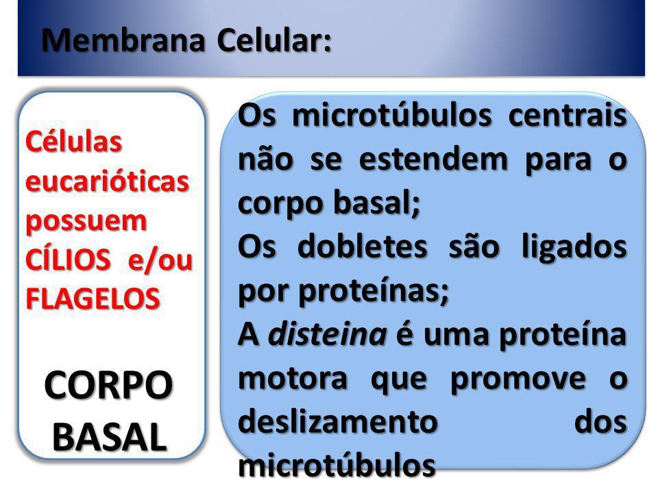Membrana Celular: Células eucarióticas possuem CÍLIOS e/ou FLAGELOS CORPO BASAL Os microtúbulos centrais não se estendem para o corpo basal; Os dobletes são ligados por proteínas; A disteina é uma proteína motora que promove o deslizamento dos microtúbulos