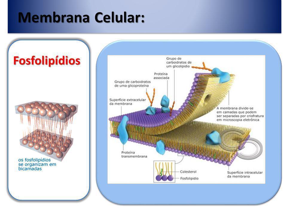 As proteínas podem ser : Periféricas eIntegrais