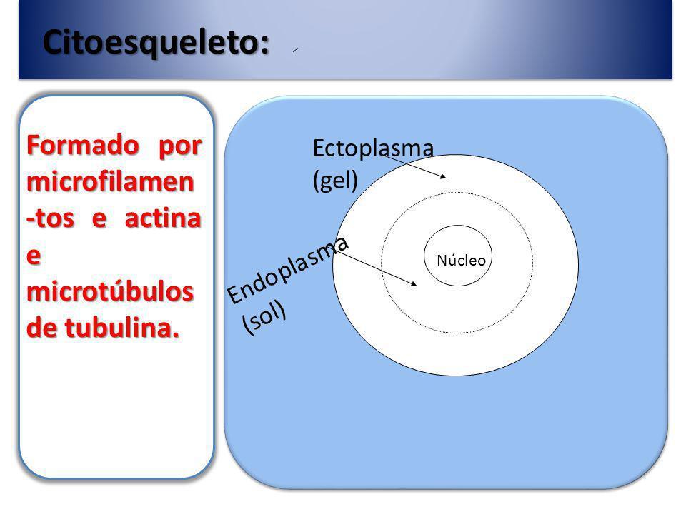 Citoesqueleto: Formado por microfilamen -tos e actina e microtúbulos de tubulina.