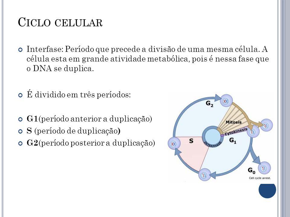 C ICLO CELULAR Interfase: Período que precede a divisão de uma mesma célula. A célula esta em grande atividade metabólica, pois é nessa fase que o DNA
