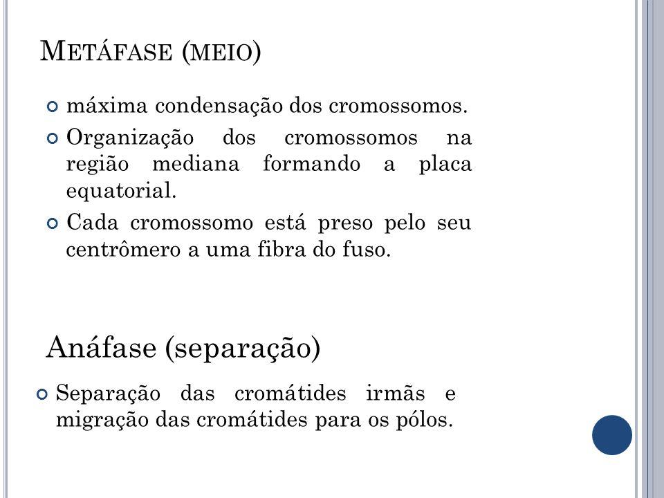 M ETÁFASE ( MEIO ) máxima condensação dos cromossomos. Organização dos cromossomos na região mediana formando a placa equatorial. Cada cromossomo está