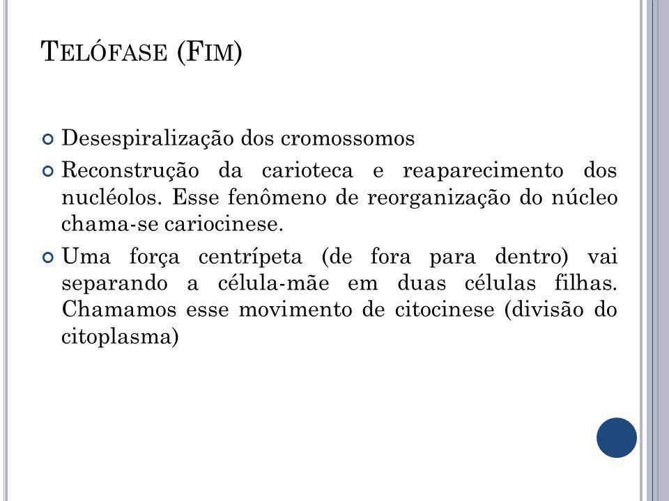 T ELÓFASE (F IM ) Desespiralização dos cromossomos Reconstrução da carioteca e reaparecimento dos nucléolos. Esse fenômeno de reorganização do núcleo