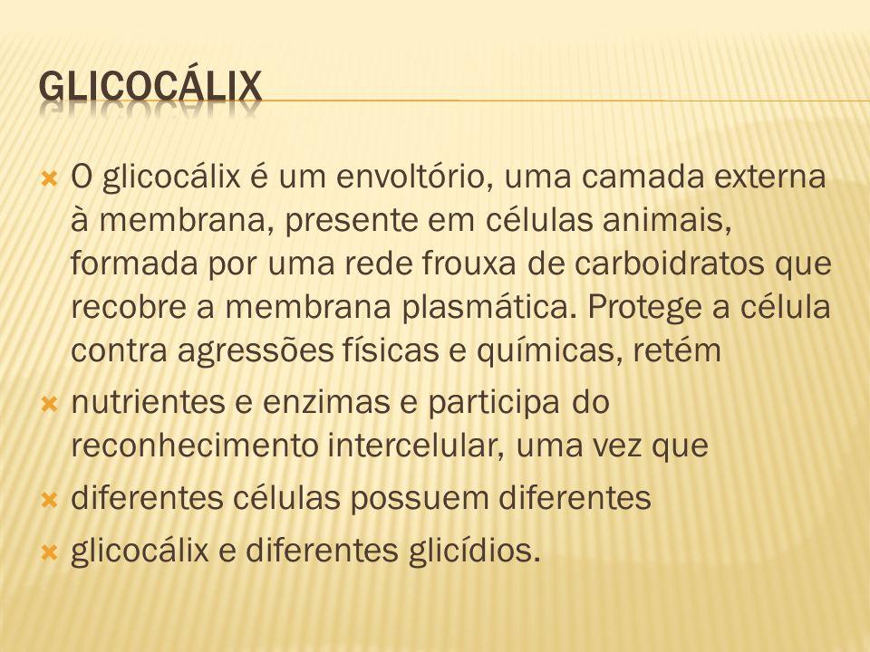 O glicocálix é um envoltório, uma camada externa à membrana, presente em células animais, formada por uma rede frouxa de carboidratos que recobre a membrana plasmática.