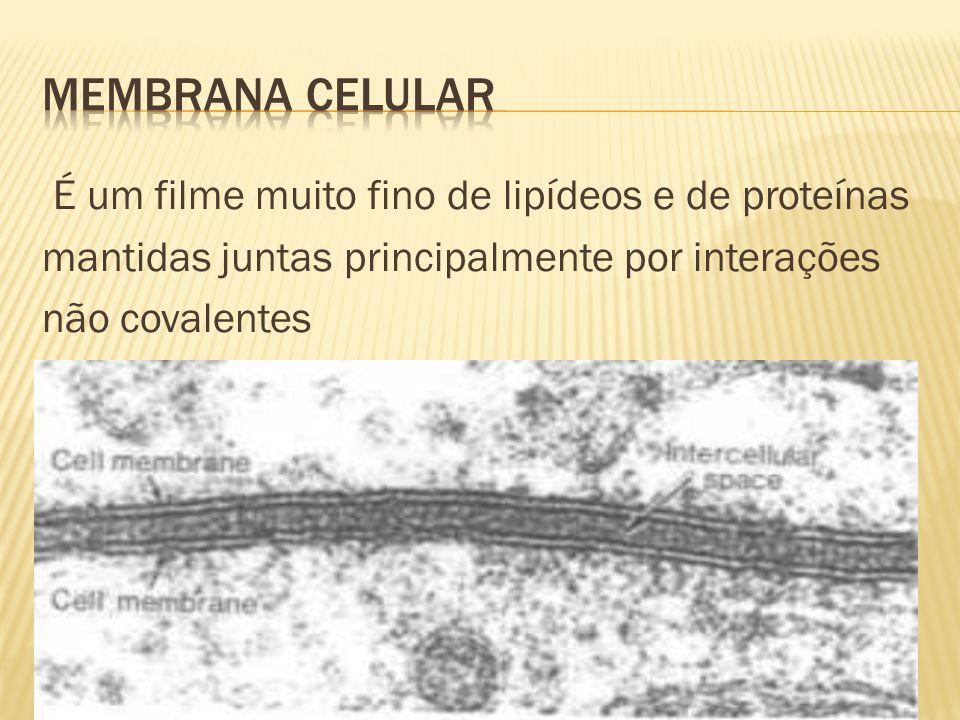 É um filme muito fino de lipídeos e de proteínas mantidas juntas principalmente por interações não covalentes