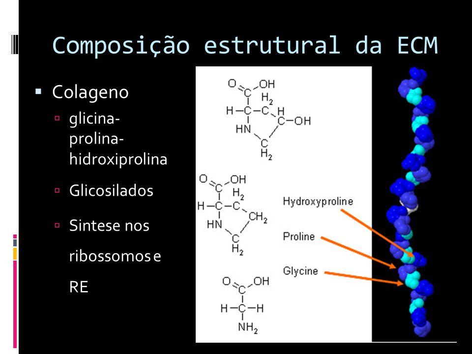 Composição estrutural da ECM Colageno glicina- prolina- hidroxiprolina Glicosilados Sintese nos ribossomos e RE