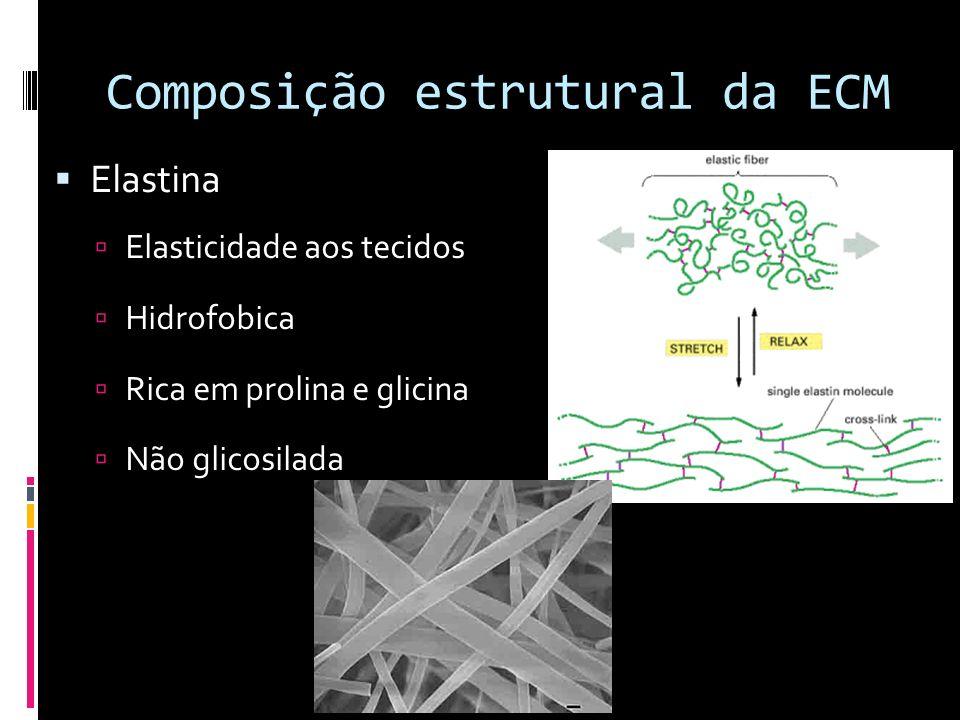 Composição estrutural da ECM Elastina Elasticidade aos tecidos Hidrofobica Rica em prolina e glicina Não glicosilada