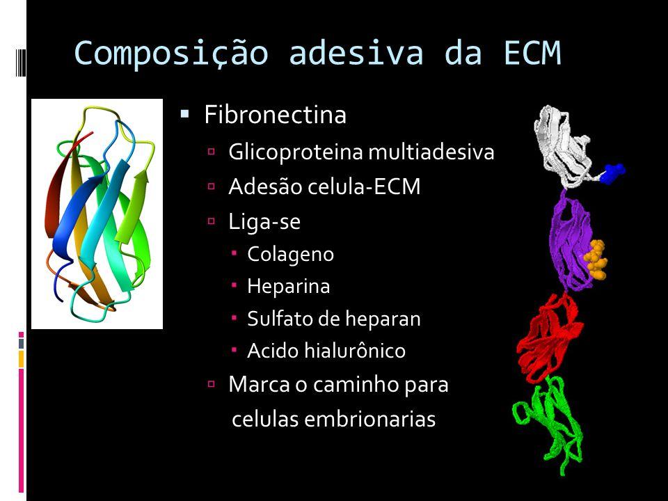 Composição adesiva da ECM Fibronectina Glicoproteina multiadesiva Adesão celula-ECM Liga-se Colageno Heparina Sulfato de heparan Acido hialurônico Mar