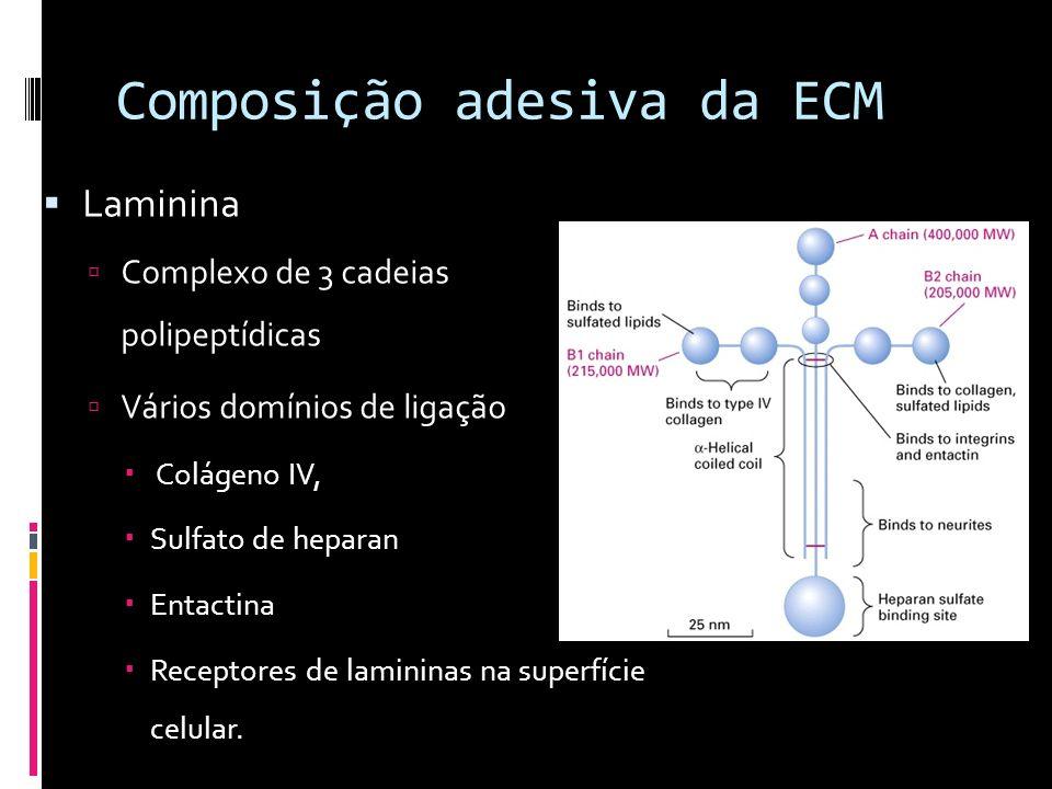 Composição adesiva da ECM Laminina Complexo de 3 cadeias polipeptídicas Vários domínios de ligação Colágeno IV, Sulfato de heparan Entactina Receptore