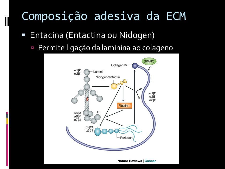 Composição adesiva da ECM Entacina (Entactina ou Nidogen) Permite ligação da laminina ao colageno