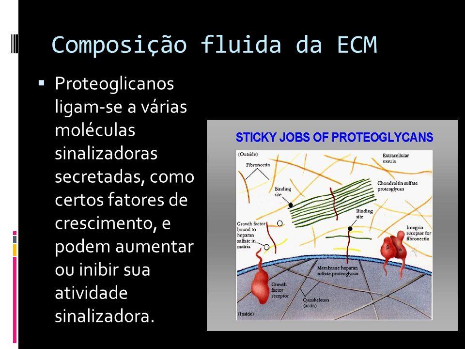 Composição fluida da ECM Proteoglicanos ligam-se a várias moléculas sinalizadoras secretadas, como certos fatores de crescimento, e podem aumentar ou