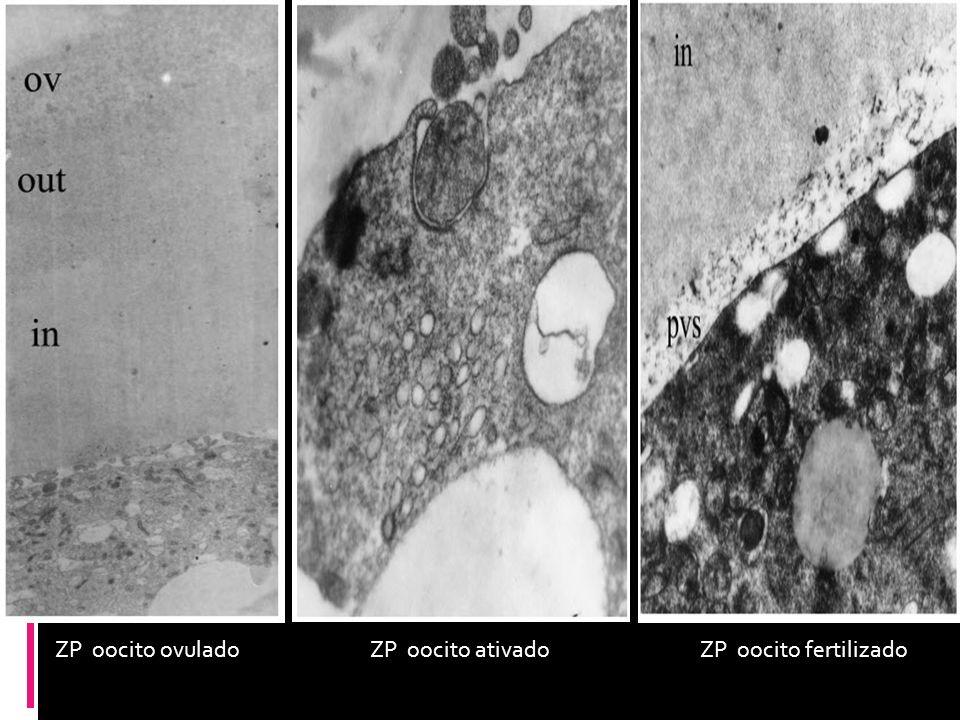 ZP oocito ovuladoZP oocito ativadoZP oocito fertilizado