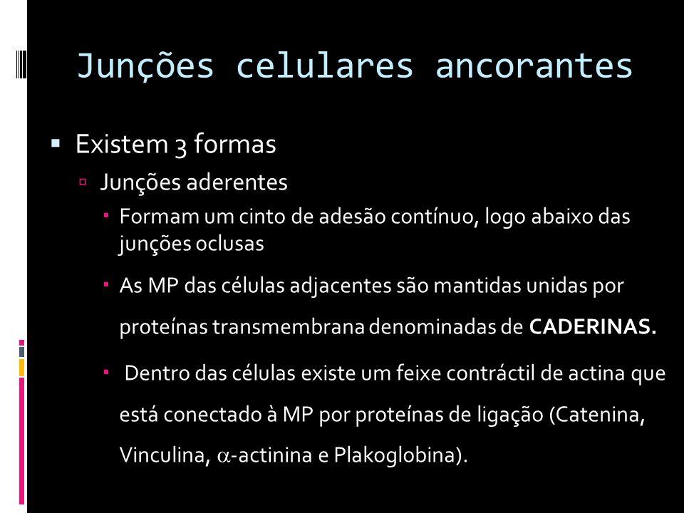 Junções celulares ancorantes Existem 3 formas Junções aderentes Formam um cinto de adesão contínuo, logo abaixo das junções oclusas As MP das células