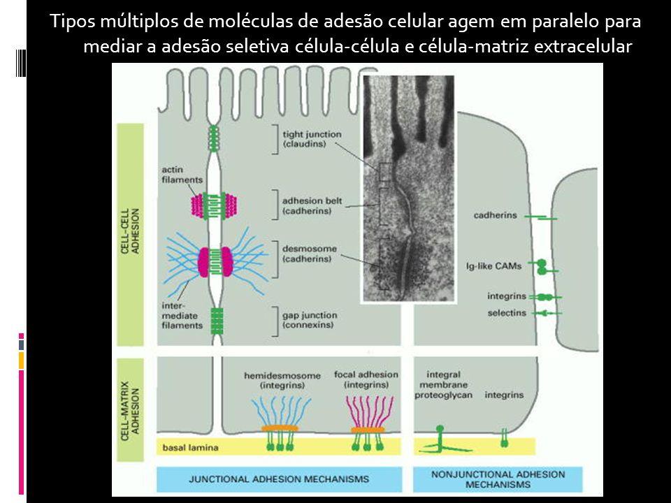 Tipos múltiplos de moléculas de adesão celular agem em paralelo para mediar a adesão seletiva célula-célula e célula-matriz extracelular