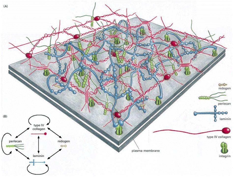 Composição adesiva da ECM Fibronectina Forma um dímero ligado por 2 pontes de S-S Vários domínios de ligação outras moléculas da ECM receptores da superfície celular Uma forma solúvel circula no corpo e ativa coagulação, cicatrização e fagocitose Múltiplas formas são produzidas por RNA splicing gene de 50 Kb contendo 50 exons.