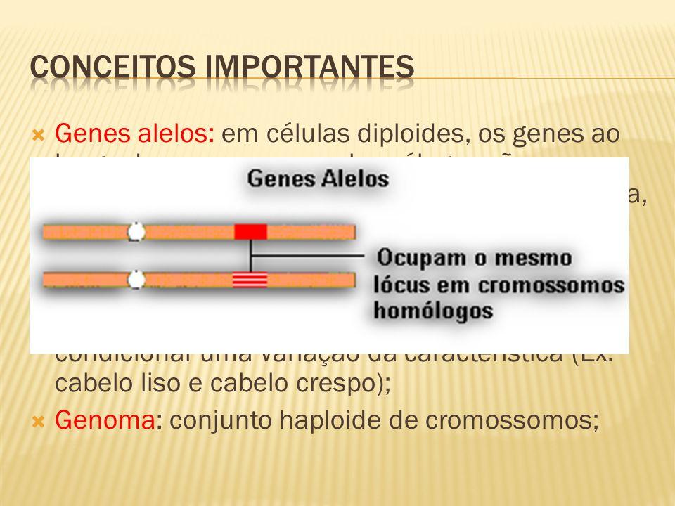 Genes alelos: em células diploides, os genes ao longo dos cromossomos homólogos são equivalentes quanto a posição e atuação, ou seja, ocupam locais correspondentes e atuam no mesmo caráter.
