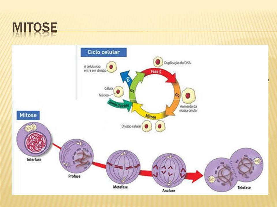 Intérfase: grande atividade metabólica, células crescem, material genético (DNA) se duplica; formam-se novas organelas citoplasmáticas e há o acúmulo de energia; Dividida em três períodos: G1: período mais longo: antes da duplicação do DNA; S: duplicação do DNA; G2: crescimento da célula para conseguir se dividir; Obs: fase G0 – sem estímulo para divisão.