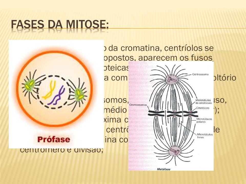 Prófase: condensação da cromatina, centríolos se deslocam para lados opostos, aparecem os fusos (conjunto de fibras proteicas) e os nucléolos desaparecem.