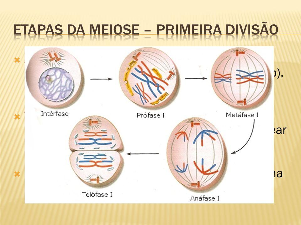 Anáfase I: separação dos cromossomos homólogos (cromátides unidas pelo centrômero), movendo-se para pólos opostos do fuso, pelo encurtamento das fibras; Telófase I: cromossomos descondensam, desaparece o fuso, nucléolos e envoltório nuclear reaparecem; Formação de um núcleo com n cromossomos, formados por duas cromátides; Pode haver um estágio de repouso até a próxima etapa – chamado de intercinese;