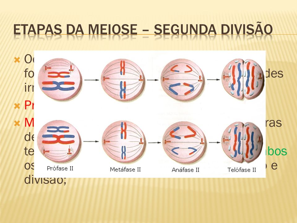 Ocorre simultaneamente nas duas células formadas. Etapa da separação das cromátides irmãs. Prófase II: igual a prófase I; Metáfase II: os cromossomos,
