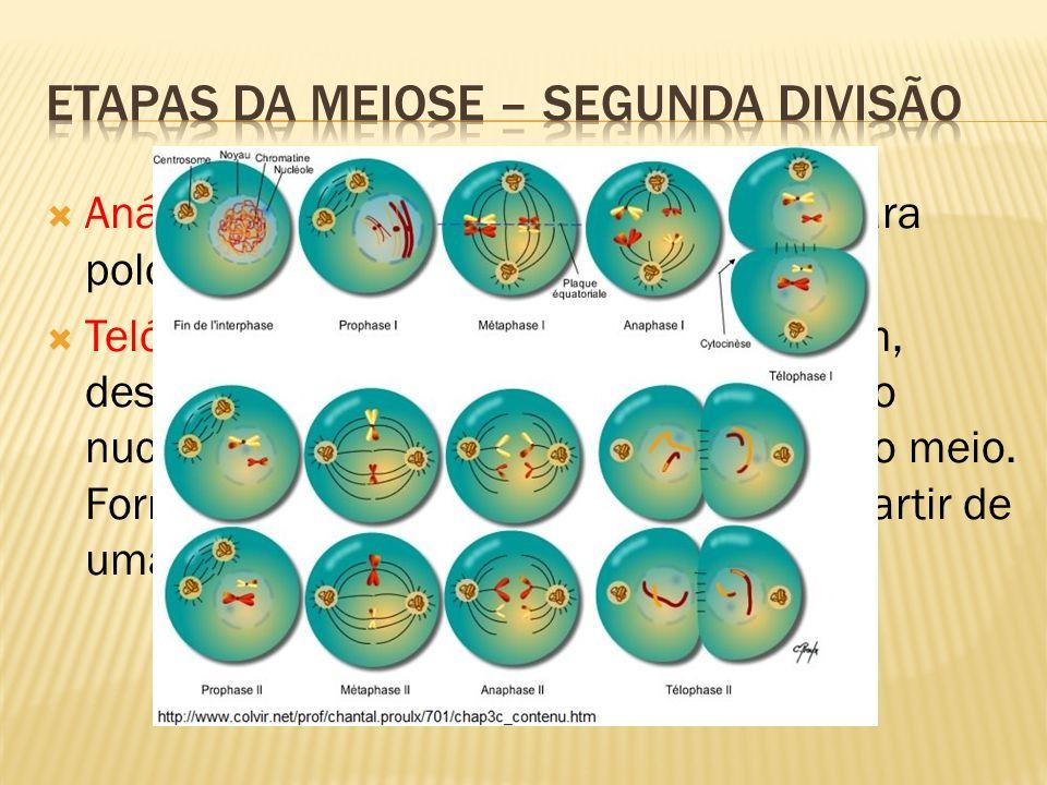 Anáfase II: separação das cromátides para polos opostos; Telófase II: cromossomos descondensam, desaparece o fuso, nucléolos e envoltório nuclear reap
