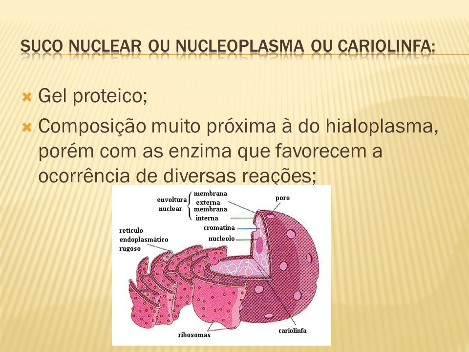 Constituição: RNA ribossômico + proteínas (ribonucleoproteínas); São responsáveis pela formação de ribossomos; No início da divisão celular, se desintegram, pois, seus ribossomos são distribuídos para o citoplasma e poderão ser fornecidos às novas células provenientes da divisão; No fim da divisão são ressintetizados por um cromossomo especial (numa região chamada de zona organizadora de nucléolo);