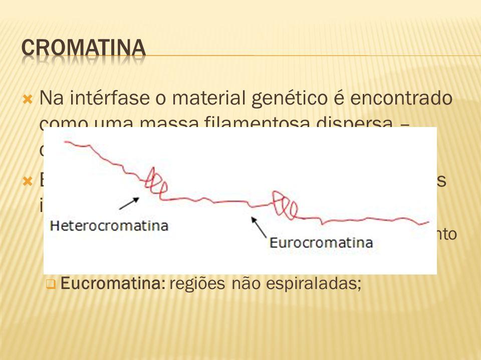 Na intérfase o material genético é encontrado como uma massa filamentosa dispersa – cromatina; Essa massa é um emaranhado de filamentos individualizados; Heterocromatina: regiões espiraladas do filamento interfásico; Eucromatina: regiões não espiraladas;