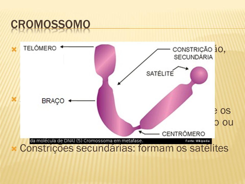 Quando a célula inicia o processo de divisão, os filamentos cromatínicos começam a se espiralar (ficam mais curtos e grossos) denominando-se cromossomo; Após a duplicação, uma região de heterocromatina (que não se duplicou) une os dois filamentos denominada centrômero ou constrição primária; Constrições secundárias: formam os satélites