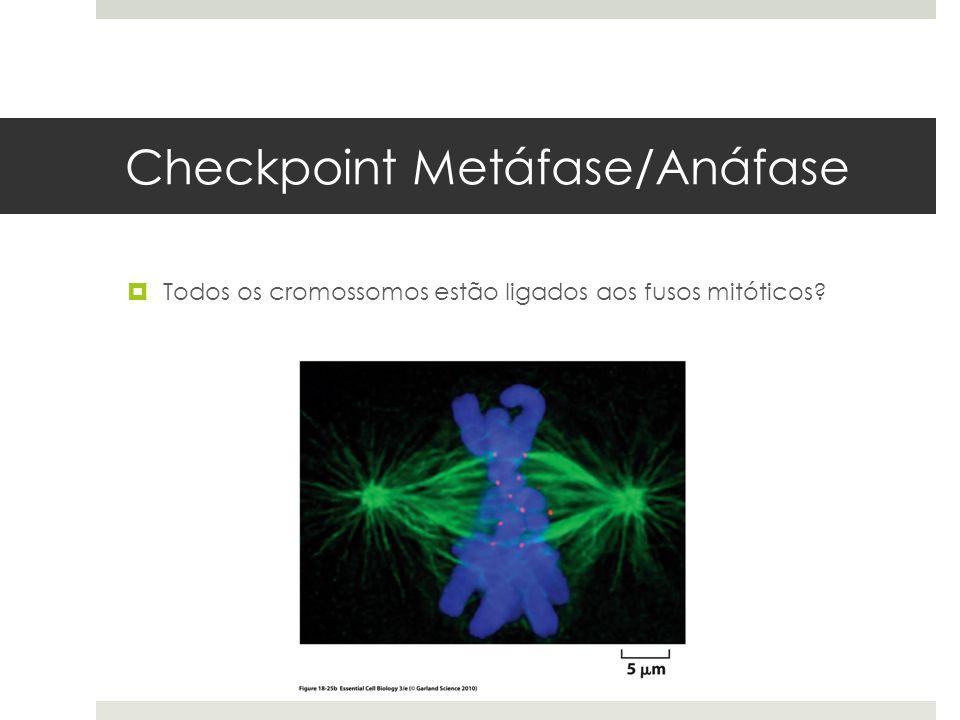 Checkpoint Metáfase/Anáfase Todos os cromossomos estão ligados aos fusos mitóticos?