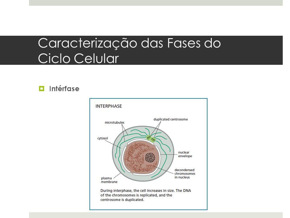 Caracterização das Fases do Ciclo Celular Intérfase