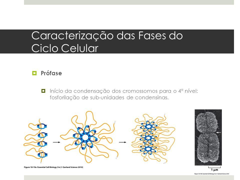 Caracterização das Fases do Ciclo Celular Prófase Início da condensação dos cromossomos para o 4º nível: fosforilação de sub-unidades de condensinas.